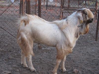 goat farming book in hindi pdf